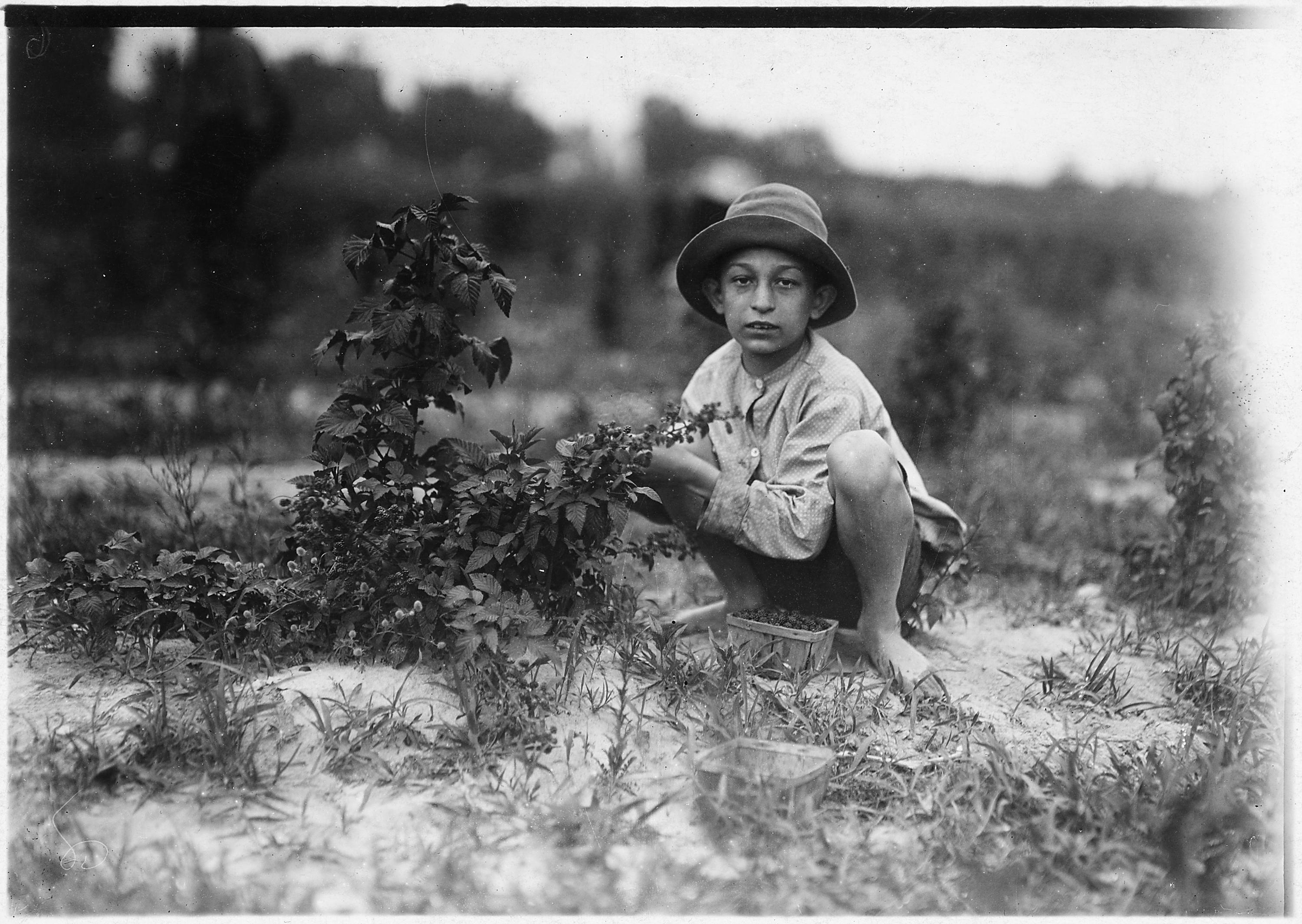 Great Photo of Boy Picking Berries (1909)